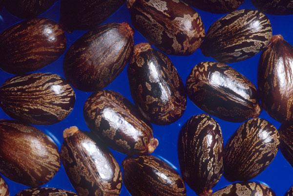 castor_beans